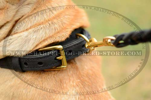 Polished Brass Buckle on Leather Dog Collar for Shar Pei