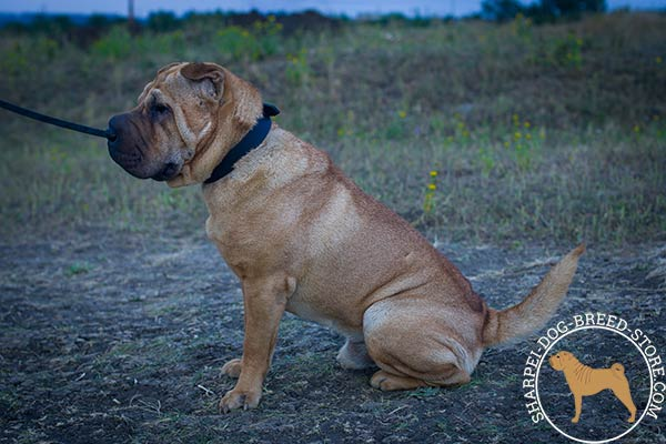 Comfortable leather Shar Pei collar for effective training