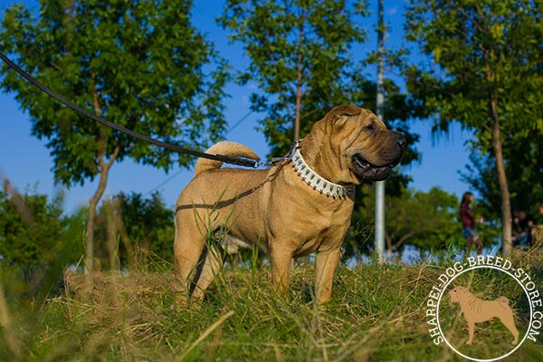 Extravagant leather canine collar for Shar Pei