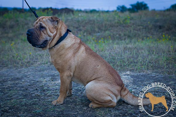 Working leather dog collar for Shar Pei training activities