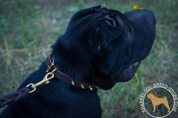 Awesome leather dog collar for Shar Pei with one row of brass spikes