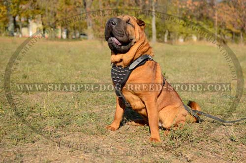 Comfortable Leather Harness with Strong Stitching and Heavy Duty Hardware for Shar Pei