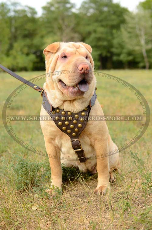 Handcrafted Leather Harness with Brass Studs Decoration and Y-shaped Chest Plate for Shar Pei
